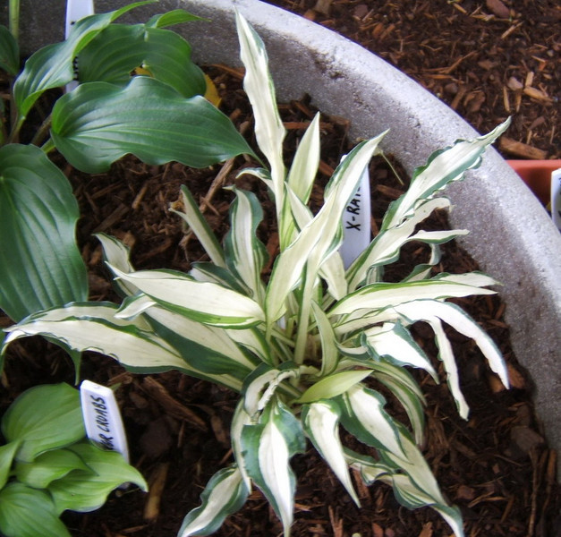 Hosta 'X-Rated' - 2008 - July 13