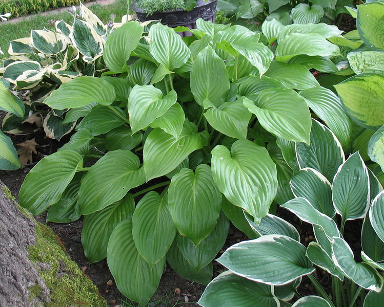 Hosta 'Venus' - 2013 - July 23