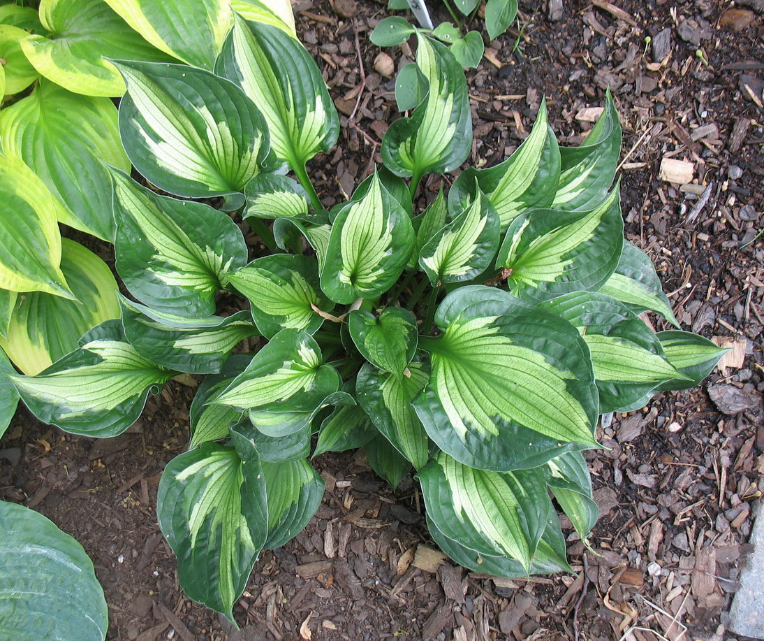 Hosta 'Whirlwind' - 2012 - July 21