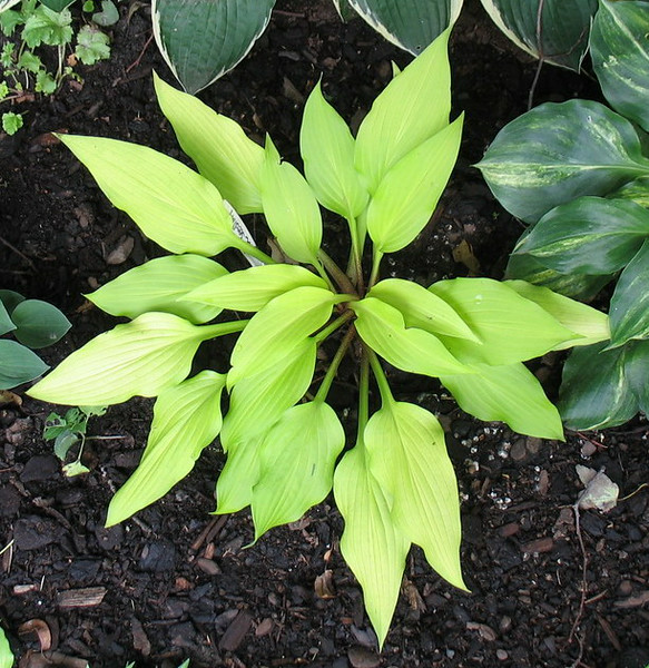 2009 seedling of Hosta Touch of Class (2) - 2014 - July 8
