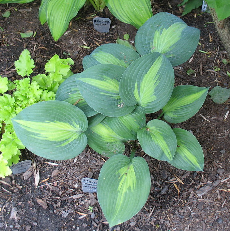 Hosta 'Lakeside Shore Master'  2010