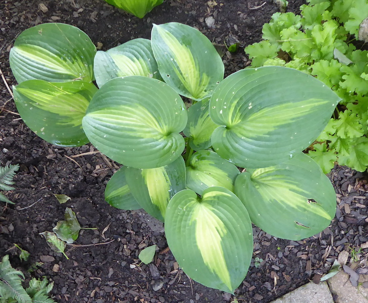 Hosta 'Lakeside Shore Master'  2017 - July 27