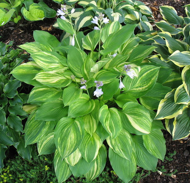 Hosta 'Lakeside Mom'  2016 - July 13