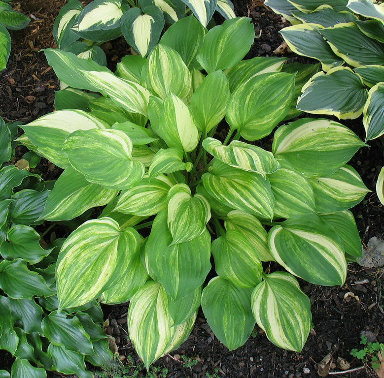 Hosta 'Lakeside Mom'  2014 - July 27