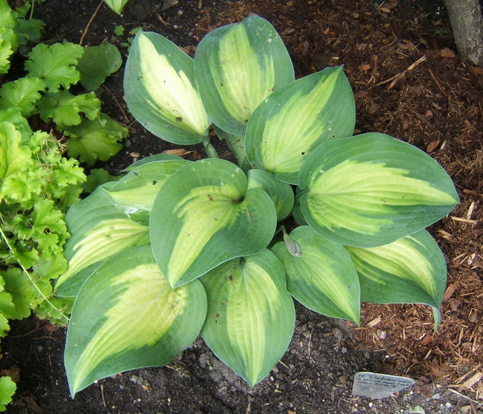 Hosta 'Lakeside Shore Master'  - 2008 - 0712