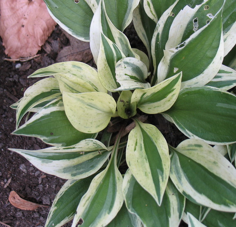 Hosta 'Lakeside Zinger'  2011