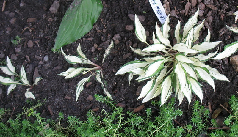 Hosta 'Lakeside Elfin Fire'  2011