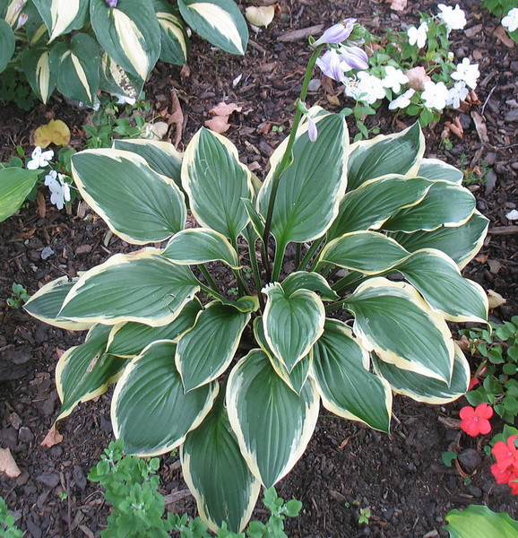 Hosta 'Lakeside Cranberry Relish'  2011