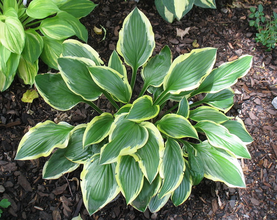 Hosta 'Lakeside Cranberry Relish'  2012 - July 3
