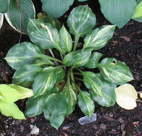 Hosta 'Lakeside Reflecting Glass' - 2014 - July 8