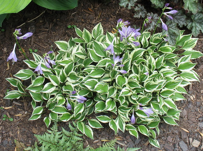 Hosta 'Lakeside Zinger'  2016 - July 23