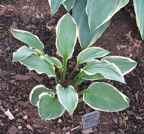 Hosta 'Lakeside Cranberry Relish'  2010
