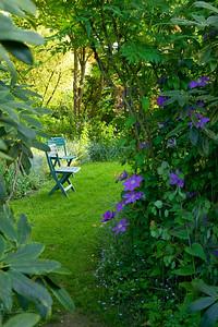 scorcio sul giardino con tappeto erboso Clematis 'Lasursterl'