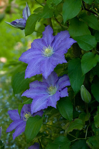 Clematis 'Lasursterl'