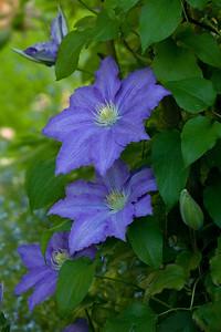 fiore di Clematis 'Lasursterl'