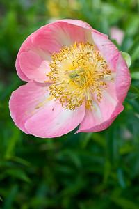 Peonia latiflora 'Pink Armony'