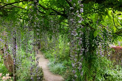 pergolato di Wisteria floribunda 'Macrobotrys' lungo il sentiero che costeggia il perimetro del G4