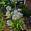 5/30/11 - Agapanthus.<br /> <br /> The one in center has 13 bloom stalks at the same time. Lots of the others have not produced any so far this year.