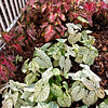 5/31/11 - Caladiums on east side of house<br /> <br /> Carolyn Wharton and Candidum