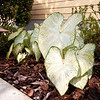 5/31/11 - Caladiums on east side of house<br /> <br /> June Bride