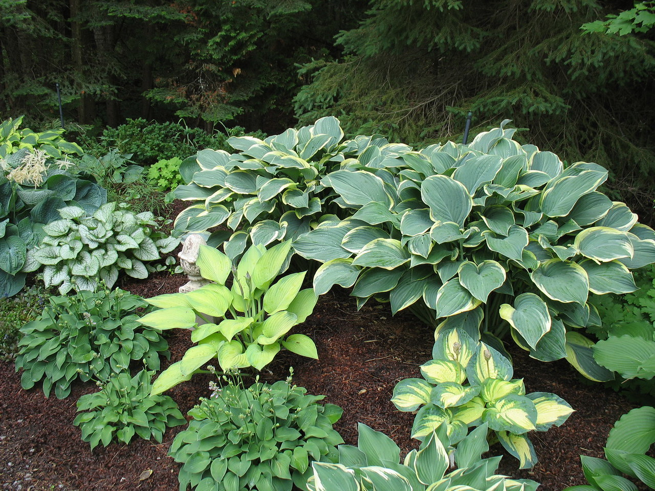 Nice mature hostas. I'll let Sandy add a comment if she wishes to identify them.