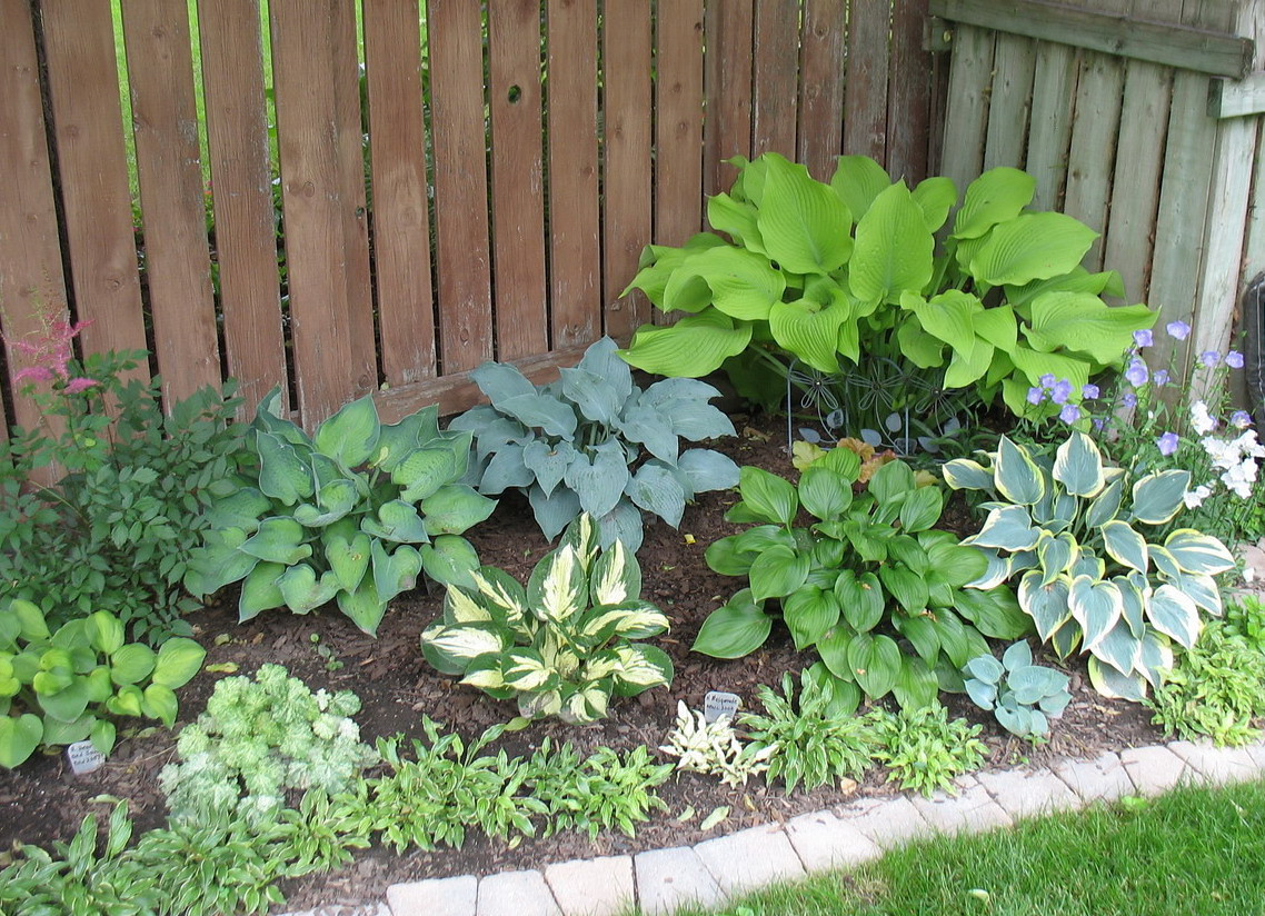 Garden in back yard. The large yellow is 'Sun Power'. Others from L-R: 'Heart and Soul', 'Revolution', 'Obsession', 'First Frost'. Back row: 'Punky' and 'Blue Wedgwood'. In front is a row of 'Kifukurin Ko Mame' with a 'Masquerade' (the small white one) and a 'Blue Ice'.