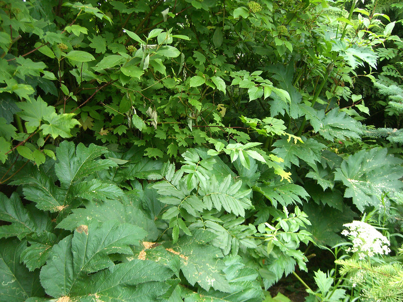 Mountain Ash surrounding by Cow Parsnip leaves. June 2007