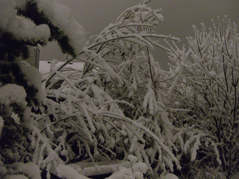 Sitka Alder bending under the weight of recent snow. November 2006.