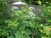 Vine Maple and Cow Parsnip flowers. June 2007