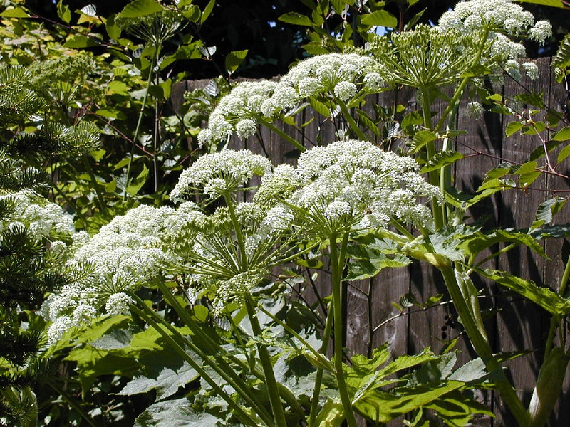 Closer view of Cow Parsnip blooms. May 2005.