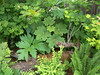 Nice scene of Devils Club, Cow Parsnip, Red Huckleberry, and Vine Maple. June 2007