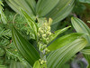 False Hellebore flowers beginning to appear. June 2007