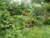 Bumper crop of Columbine flowers. June 2007