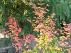 Vine Maple fall color. This was the first year that my vine maples produced the classic fall colors. October 2007