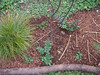 (Left to Right) Beargrass, Youth on Age, Low Oregon Grape, Youth on Age. November 2007