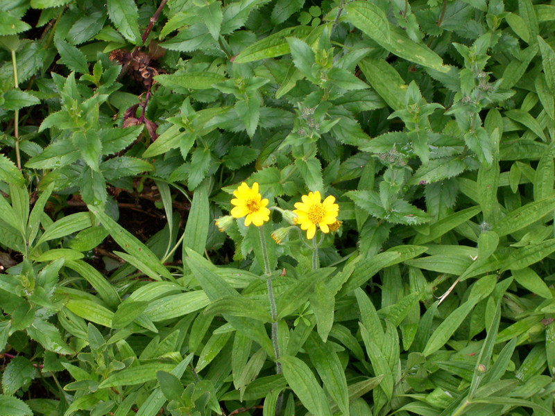 First Clasping Arnica to bloom this year. June 2007