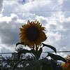 Sunflower & Clouds