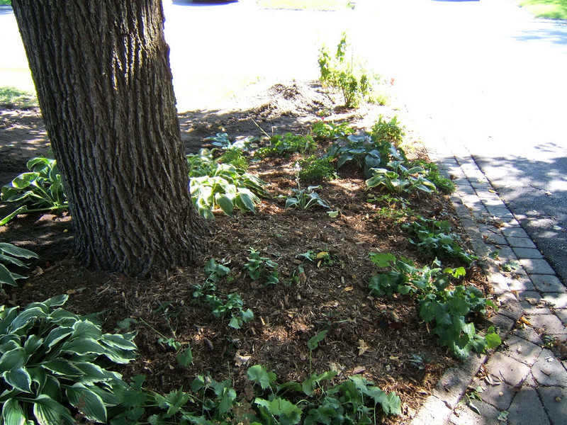 I lifted the cedar mulch on the adjoining gardens in order to add soil and replaced it on top of the new soil.