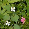 Dokudami and Azelea Flowers