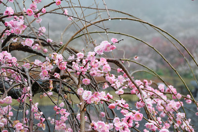 Yugawara Plum Tree Garden and Manaduru Peninsula/湯河原梅林と真鶴