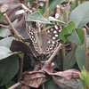 A rather fine Speckled Wood Butterfly