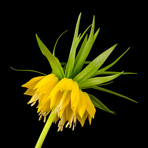 Yellow Fritillaria Imperialis