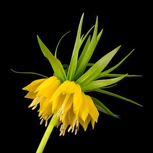 Yellow Fritillaria Imperialis