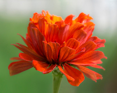 Orange and Green Zinnia