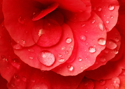 raindrops on red begonia