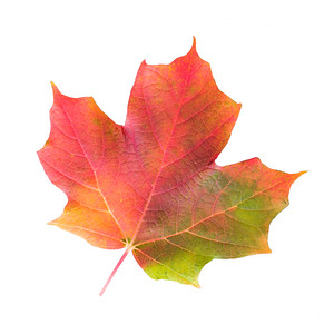 Multicolored Maple Leaf