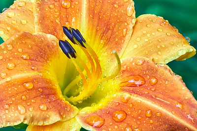 Raindrops on a Lily