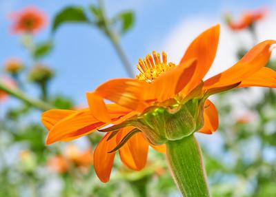 Mexican sunflower, Tithonia rotundifolia