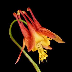 Columbine flower in closeup