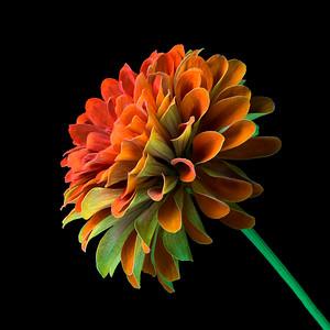 Orange and Green Zinnia